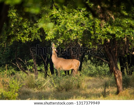 Spotted dear or chital in Panna  National Park in India. #1317379949