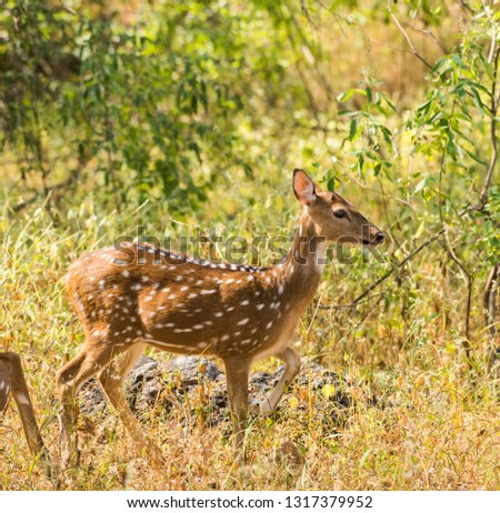 Spotted dear or chital in Panna  National Park in India. #1317379952