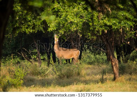 Spotted dear or chital in Panna  National Park in India. #1317379955