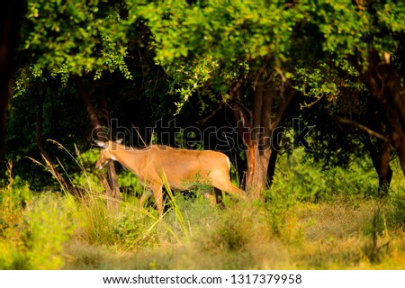 Spotted dear or chital in Panna  National Park in India. #1317379958