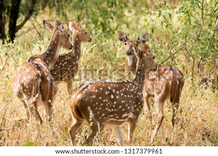 Spotted dear or chital in Panna  National Park in India. #1317379961