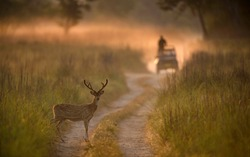 Spotted Deer and Safari Vehical at Corbett Tiger Reserve