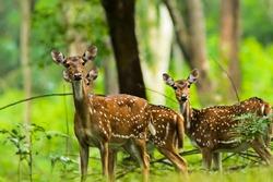 Spotted deer at Wayanad,Kerala.