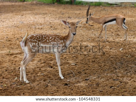 Spotted deer chital native of Indian