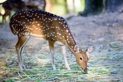 spotted deer eating grass
