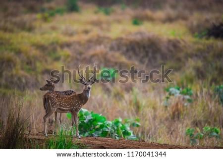 spotted deer in kanha meadows #1170041344