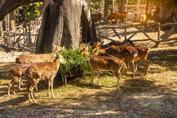 Spotted Deer in the zoo, group  Star deer family enjoys eating on green grass together in the zoo.