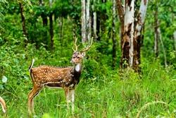 Spotted Deer in Wayanad,Kerala,India.