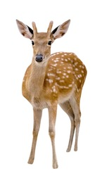 Spotted deer isolated on white background,include clipping path