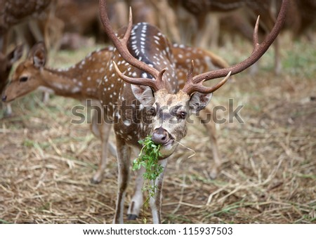 Spotted deer mostly found in India