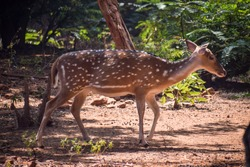 Spotted deer or chital walking alone in the nature. Indian spotted deer.