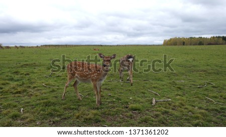 Spotted deer walking in the field #1371361202