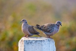 spotted dove , laughing dove and collard dove are beautiful wildlife birds from nature reserves of water lands in Pakistan
