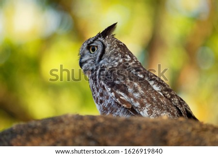 Spotted Eagle-Owl - Bubo africanus also called African spotted eagle-owl, and African eagle-owl, is a medium-sized species of owl, one of the smallest of the eagle owls.