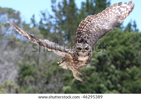 Spotted Eagle Owl raptor coming in to land
