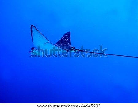 Spotted Eagle Ray(Aetobatis narinari).