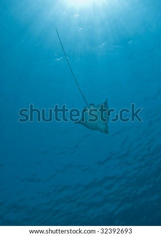 Spotted eagle ray (Aetobatis narinari) and sunbeams. Red Sea, Egypt. - Shutterstock ID 32392693