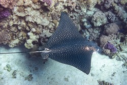Spotted Eagle Ray (Aetobatus narinari) In Red Sea, Egypt. Close Up Of Dangerous Underwater Leopard Stingray Soaring Above Tropical Coral Reef. Beautiful Indo-Pacific Ocean Fish. Diving Photography.