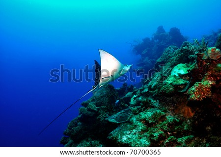 Spotted eagle ray grand cayman caribbean - stock photo