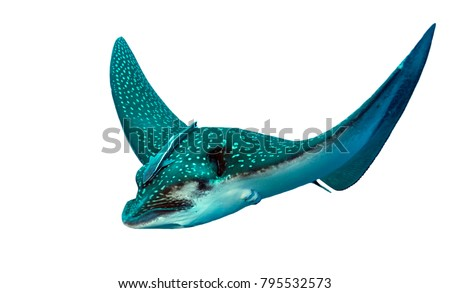 Spotted Eagle Ray isolated in white background #795532573