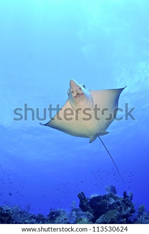 Spotted Eagle Ray Underneath