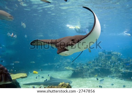 Spotted Eagle-rays (Aetobatus narinari) swimming over coral reef