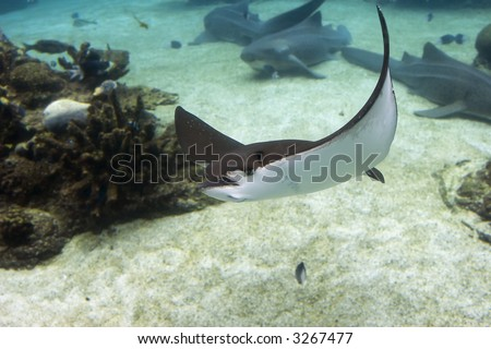 Spotted Eagle-rays (Aetobatus narinari) swimming over coral reef.