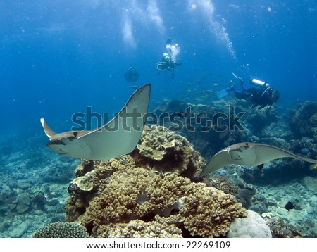 Spotted Eagle-rays (Aetobatus narinari) swimming over coral reef, scuba divers in background - stock photo