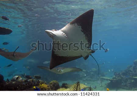Spotted Eagle-rays (Aetobatus narinari) swimming over coral reef, with blue background.
