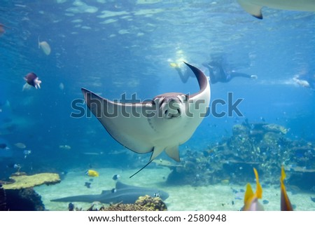 Spotted Eagle-rays (Aetobatus narinari) swimming over coral reef, with divers in the background.