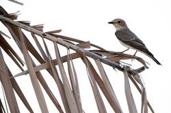 Spotted Flycatcher at Asker marsh, a highkey image
