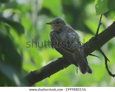 Spotted flycatcher juvenile (Muscicapa striata) perched on a piece of wood coming from the ground making eye contact with the camera. Beautiful flycatcher posing eye-level image. Stock fotó ©