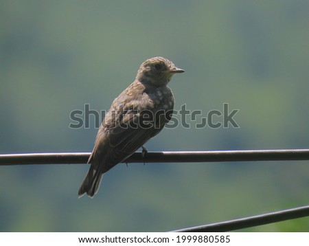 Spotted flycatcher juvenile (Muscicapa striata) perched on a wire eye contact with the camera. Beautiful flycatcher posing eye-level image. Stock fotó ©