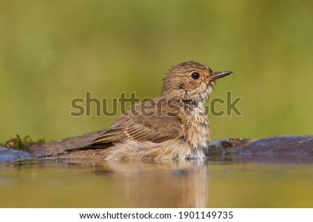 Spotted Flycatcher (Muscicapa striata) in the water Stock fotó ©