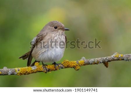 Spotted Flycatcher (Muscicapa striata) on the branch Stock fotó ©
