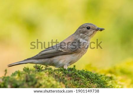 Spotted Flycatcher (Muscicapa striata) on the moss Stock fotó ©