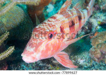 Spotted Goatfish, picture taken on a reef in south east Florida.