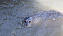 Spotted Harbor Seal in Harbor