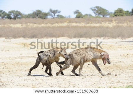 Spotted hyaena (Crocuta crocuta) engaging in social interaction at a waterhole . Largest of the hyaenas, they are efficient predators and scavengers.