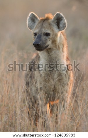 Spotted Hyaena, (Crocuta crocuta) in South Africa's Kruger Park in the early morning light.