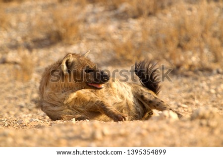 Spotted hyaena (Crocuta crocuta), Kgalagadi Transfrontier Park, Kalahari desert, South Africa.