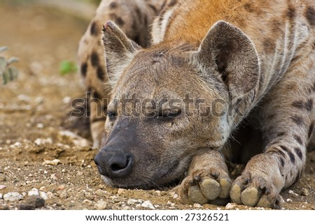 Spotted Hyaena; Crocuta crocuta; South Africa