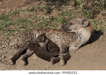 Spotted Hyaena (Crocuta crocuta) with young cubs, South Africa