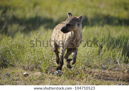 Spotted hyaena, (Crocuta hyaena) in the Kgalagadi transfrontier park,south africa