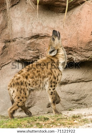 Spotted Hyena by Rock Formation