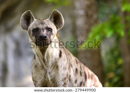 Spotted Hyena close-up to face and eye