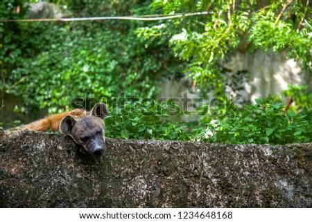Spotted hyena (Crocuta crocuta), also known as the hyena live in the savannah.