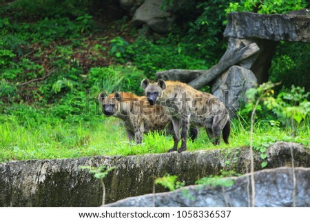 Spotted hyena (Crocuta crocuta)also known as the laughing hyena,is a highly successful animal, being the most common large carnivore in Africa.It is primarily a hunter but may also scavenge