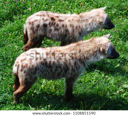 Spotted hyena (Crocuta crocuta), also known as the laughing hyena,[3] is a species of hyena, currently classed as the sole member of the genus Crocuta, native to Sub-Saharan Africa.