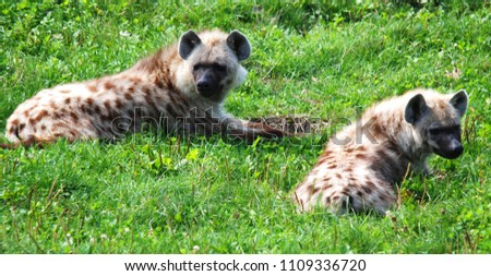Spotted hyena (Crocuta crocuta), also known as the laughing hyena, is a species of hyena, currently classed as the sole member of the genus Crocuta, native to Sub-Saharan Africa.